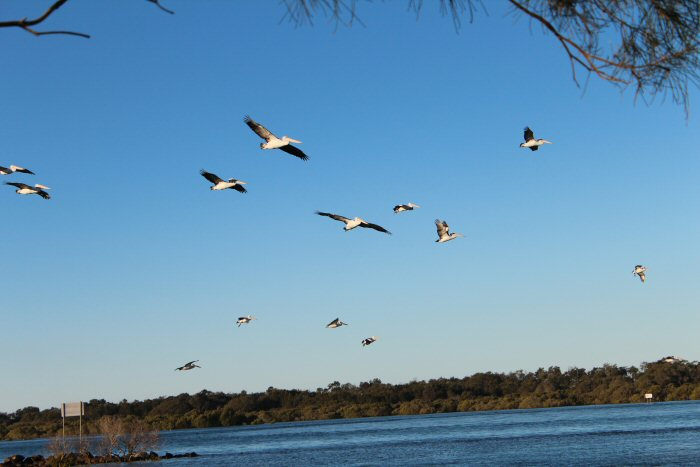 Urunga NSW Pelicans in the Sky